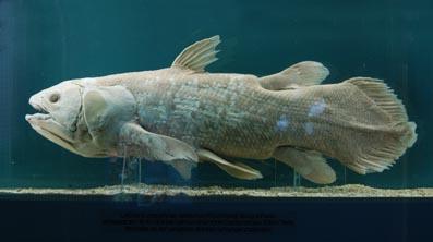 Доисторическая рыба Латимерия